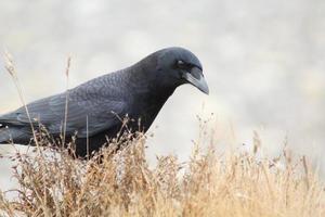 corbeau photo