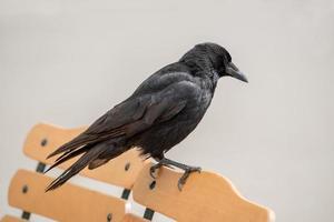 corbeau assis sur un dossier de chaise photo