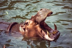 hippopotame, animaux, mammifères et herbivores. photo