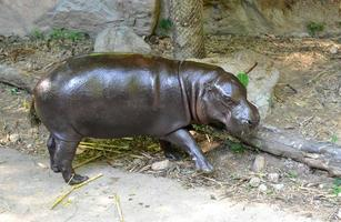 hippopotame pygmée photo