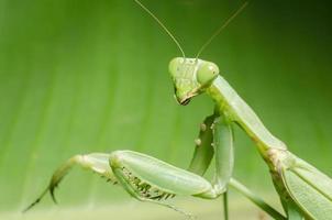 dans les feuilles vertes de la mante religieuse. photo