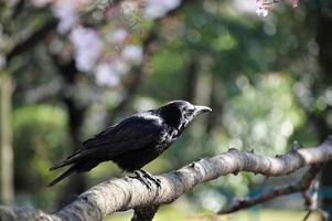 corbeau japonais photo