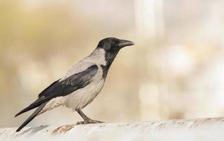 corbeau à capuchon photo