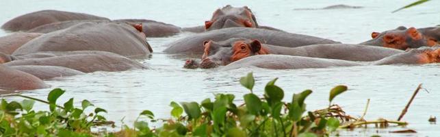 panorama d'hippopotame photo