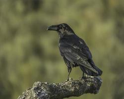 corvus corax photo