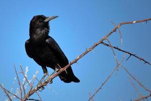 corbeau à etosha, namibie
