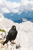 Chough alpin assis sur un rocher