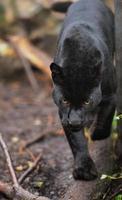 léopard noir photo