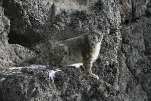 léopard des neiges, uncia unciaa photo