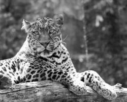 léopard au repos photo