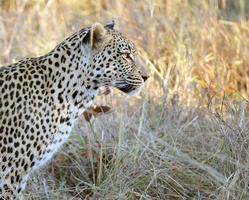 vigilance léopard, botswana photo