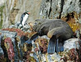 phoque à fourrure de la Nouvelle-Zélande et collets pingouin à crête photo