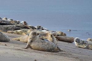 groupe de phoques gris photo
