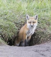 kit de renard roux dans le trou de renard noir photo