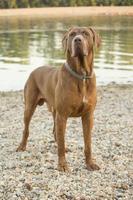 chien de défense serbe sop photo