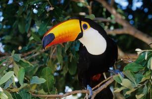 toco toucan photo