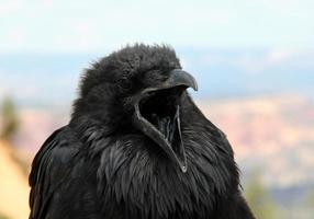 corbeau en colère photo