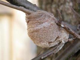 cas d'oeufs de mante religieuse photo