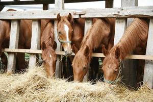 Beaux jeunes chevaux partageant du foin sur la ferme équestre