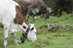 vache mangeant photo