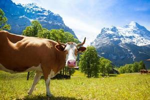vache intéressée photo