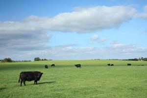 vaches danoises photo