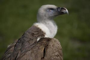 portrait de vautour photo