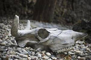 crâne de vache photo