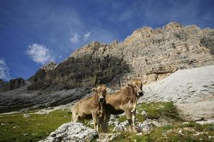 vaches de montagne photo