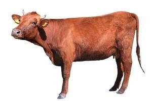vache brune photo