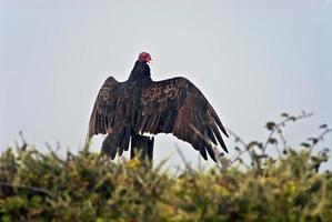 vautour de dinde, aura catharte photo