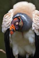 vautour roi photo