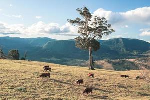 vaches de l'outback