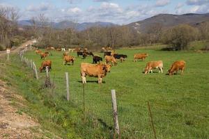 vaches broutant dans le pré à côté de la route - vacas pastando
