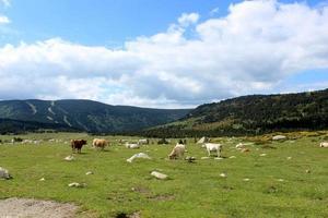 paisaje con vacas