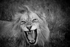 rugissement de lion photo