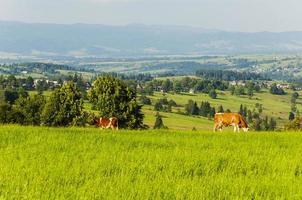 vache au pâturage photo
