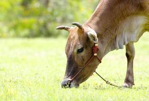 vache bos primigenius