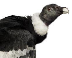 condor andin - vultur gryphus (15 ans) photo