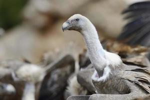 Portrait de vautour fauve avec d'autres en arrière-plan