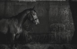 cheval noir et blanc dans une grange photo