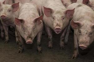 cochons dans un enclos