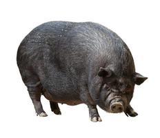 porc photo