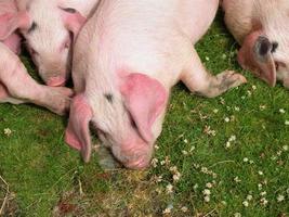les cochons photo