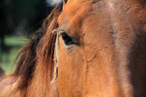 les yeux du cheval et les yeux du cheval brun magnifiques