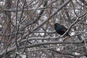 étourneau sansonnet dans l'arbre photo