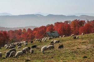 pâturages transcarpates en automne photo