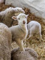 curieux beau mouton non tondu avec agneau photo