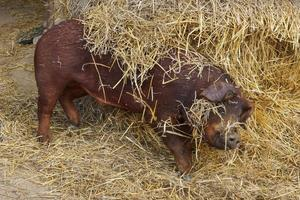 cochon duroc jouant photo