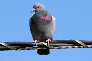 Pigeon biset columbia livia debout sur des fils de câble photo
